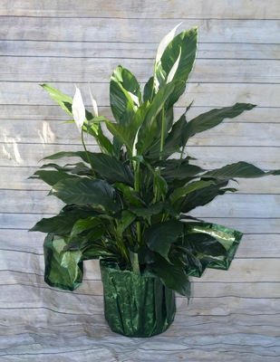 Peace Lily from Wren's Florist in Bellefontaine, Ohio